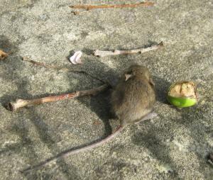 mouse-6-web