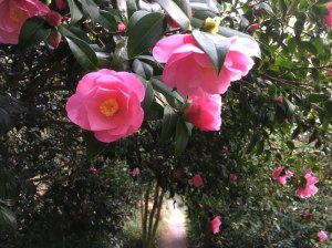 camellias-at-Greenway